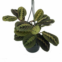 "Live Plant Maranta Red Prayer Easy to Grow Houseplant 6"" Hanging Basket ... - $78.99"