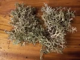 Organic - Live Reindeer Lichen Moss - for Terrariums Fairy Gardens - $14.00