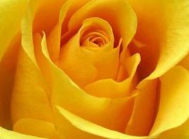 50pcs Rose Yellow European Big Rose Flower Seeds Very fragrant  - $14.89