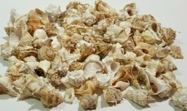 "Lot of 1.5 POUNDS OF MINIATURE CONCH SEA SHELLS  1'' to 2"" Clean Crafts D5 - $24.75"