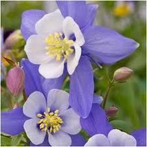20 Pcs Seeds Blue Star Columbine – Aquilegia – Perennial HH01 - $13.99