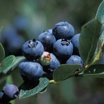 1 Gallon Pot - Duke Blueberry Bush - Hardy Perennial - 1Plant - FREE SHIP - $94.00