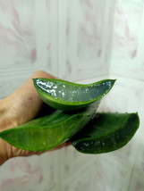 Fresh Aloe Vera Plant Leave Cuts Pure Organic Jel 300 Gm Skin Care Succu... - $19.99