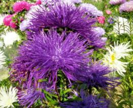 30 Pcs Seeds Callistephus Unicom Needle Aster Violet Purple Flower - DL - $16.00