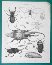 ENTOMOLOGY Stag Hercules Beetle Butterfly - 1822 Original Print - $26.96