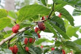 Red & Black Mulberry 10 Cuttings for Grafting and rooting. - $39.99