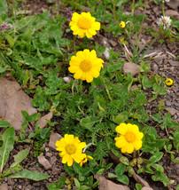 25 Anthemis marschalliana Seeds - $8.00
