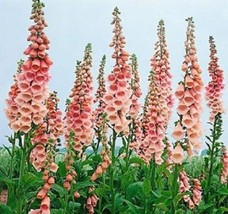 "100 Seeds Foxglove Apricot Beauty ""Digitalis Purpurea"" - $7.99"