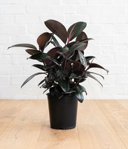Burgundy Ficus elastica Rubber prolific fleshy Plant Tropical Bare root ... - $19.44