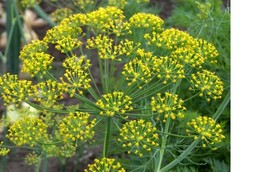 SHIP FROM US Dill, Bouquet Fresh hand packaged non-GMO seeds SPT5 - $6.00