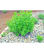 SHIPPED FROM US 600+PEPPERMINT Teas Culinary Medicinal Organic Patio See... - $17.00