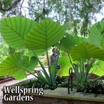 SHIP FROM US Thailand Giant - Colocasia gigantea Thai Giant Elephant  WSP2 - $68.00