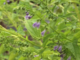 Official Skullcap, Scutellaria lateriflora, Medicinal Plants, 4in potted... - $9.49