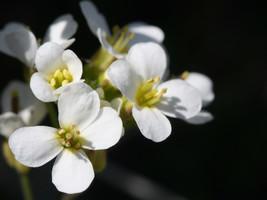 rockcress, WHITE ALPINE (Arabis Alpina), perennial flower, 115 SEEDS - $12.25