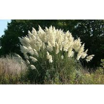 Pampas Grass White 500 Seeds #MBG02 - $18.17