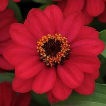 25 Seeds Of Zinnia Flower Zahara Raspberry - $17.70