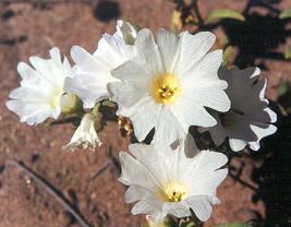 Nolana Chilean Bellflower White 50 Flower Seeds - $12.98