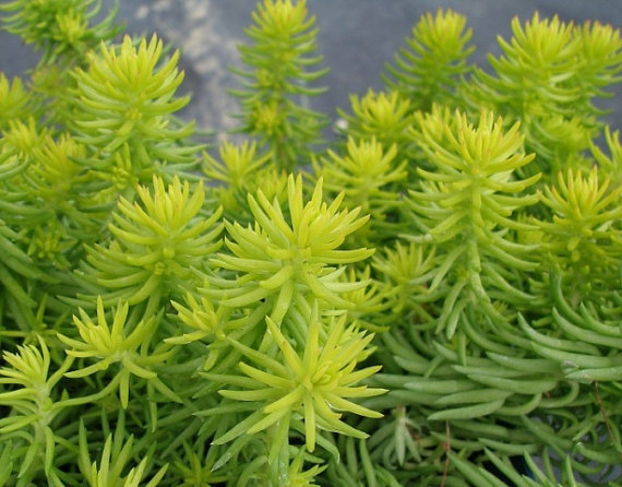 500 Seeds Sedum Autumn joy stonecrop Gold Moss Worm Grass Ice succulent Plant