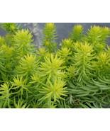 500 Seeds Sedum Autumn joy stonecrop Gold Moss Worm Grass Ice succulent ... - $9.50
