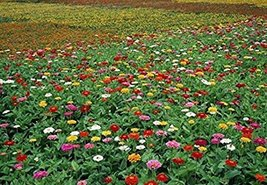 Zinnia Angustifolia + Zinnia Elegans Mixed, 30 Seeds / Pack Middle Large Blooms  - $5.90