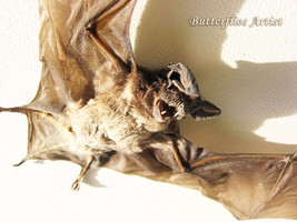 Real Bat Taxidermy Large Eared Otomops Formosus Museum Quality Framed In Display - $79.99