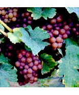 2 Cuttings Champagne Grape, Seedless Grape Vine Cuttings, Zone 7 to 10 - $10.77