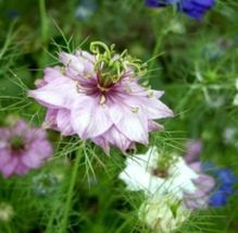 Shipped From Us, 50 Seeds Of Love In A Mist Flower Seeds Mixed COLORS-SPM - $16.99
