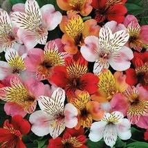 SHIP FROM USA Peruvian Lily Hybrid Mix Flower Seeds (Alstroemeria Hybrida Dr.Sal - $38.21