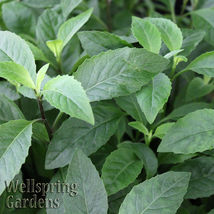 SHIP FROM US Longevity Spinach Gynura procumbens Live Plant tropical WSP2 - $71.00