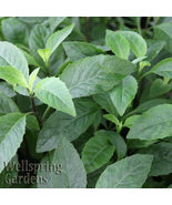 SHIP FROM US Longevity Spinach Gynura procumbens Live Plant tropical WSP2 - $36.00