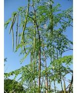 100 Organic Drumstick Moringa Murungai Murunggi Seeds X-100 (Combo S/H) ... - $22.65