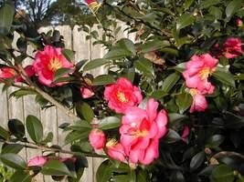Outdoor Living - Camellia Sasanqua Shishi Gashira Quart Plant - tgi - $55.95