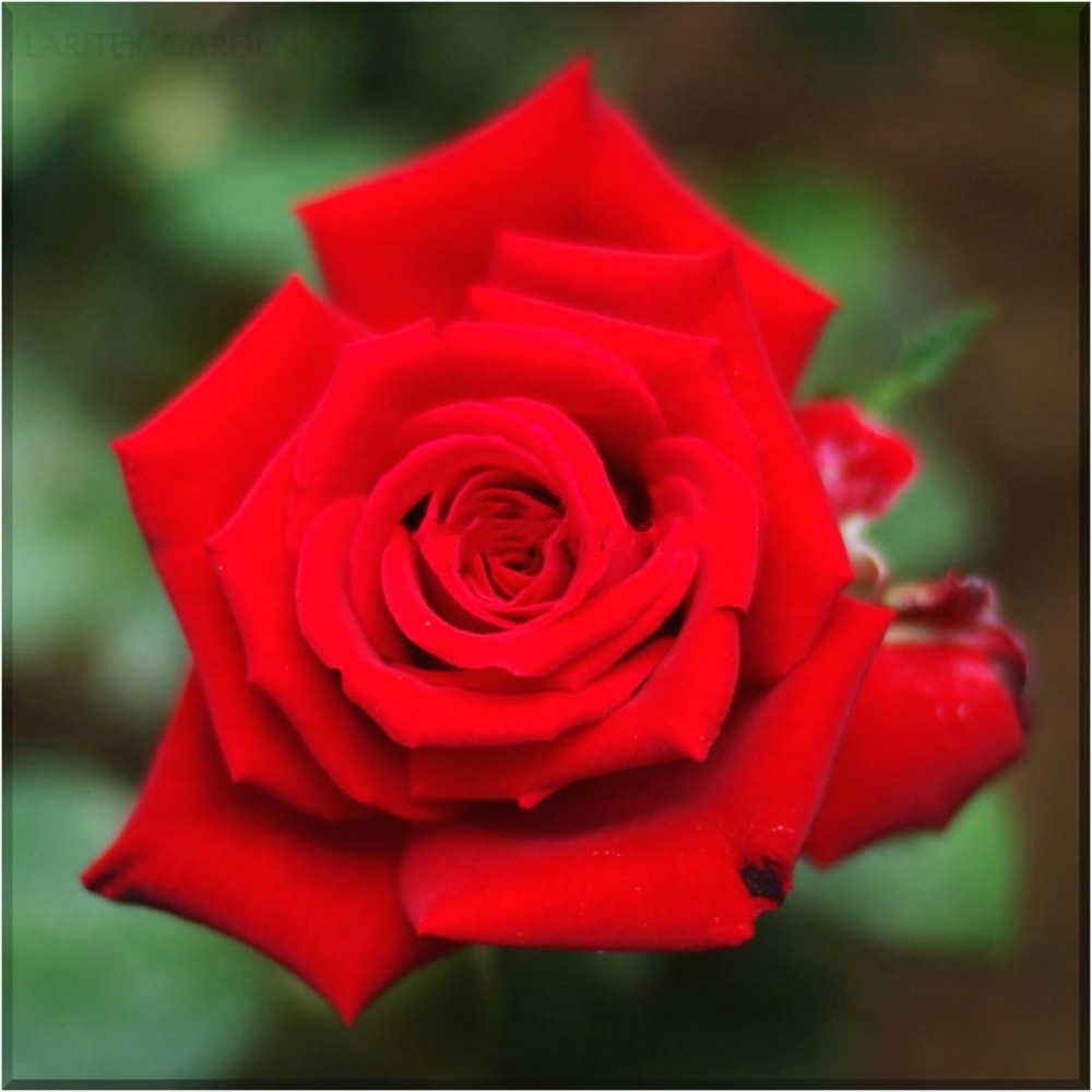 Primary image for Heirloom Fresh Red Chinese Rose Flower  20 Seeds, strong fragrant rare flowers