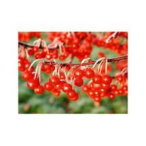 5 Dwarf Crabapple Tree Seeds-1231 - $2.98