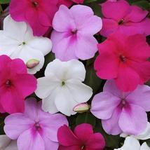 150 Seeds Impatiens Seeds Impreza Wedgewood Mix Flower Seeds - Outdoor Living - $50.99