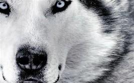 WEREWOLF male Shape Shift power Werewolf  mysterious power changes Sioux Indian - $67.77