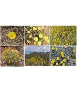 100 Yellow Desert Perennial Daisy Drought Resistant - $8.99