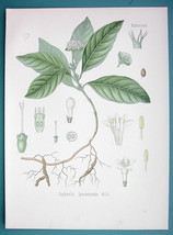 AMERICAN IPEPAC Cephaelis Ipecacuanha - Beautiful COLOR Botanical Print - $15.30