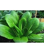 1200+ Komatsuna Spinach Mustard Tendergreen Vegetable Seeds - tkit - $19.95