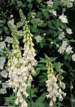 100 White Foxglove Seeds Perennial Garden Flower Seed Flowers Sun - TTS - $21.95