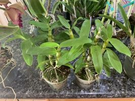 Dendrobium Spring Bird Nobile Type Orchid Plant Blooming Size |||||| image 4
