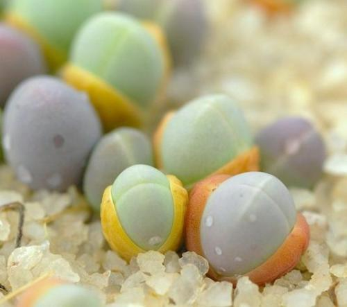 Gibbaeum comptonii exotic succulent rare ice living rocks mesembs seed 20 SEEDS