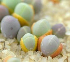 Gibbaeum comptonii exotic succulent rare ice living rocks mesembs seed 20 SEEDS - $18.00