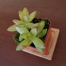 "LIVE SUCCULENT Sedum Firestorm 2"" potted plant sedum adolphi golden image 5"