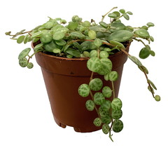"2"" Pot -Ultra Peace Sign Plant - Peperomia prostrata - Garden- FREESHIP ... - $66.00"