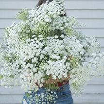 White Dill Ammi Seed / White Dill Ammi Flower Seeds - $12.00