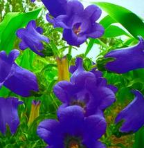 30pcs Very Elegant Canterbury Bells Perennial Flower Seeds IMA1 - $13.99