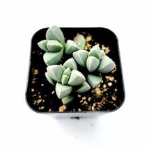 1 Live Plant Bareroot 2 inch - Corpuscularia lehmannii Ice Succulent Pla... - $19.99