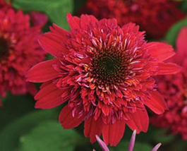 200pcs Very Exicted Double Raspberry Red Coneflower Echinacea Flower Seeds - $16.80