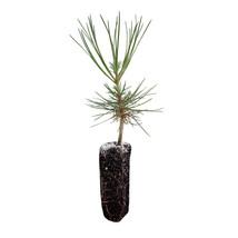 ponderosa pine medium tree seedling 1 pcs - $48.00